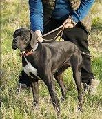 250 av köpeği merada yarıştı