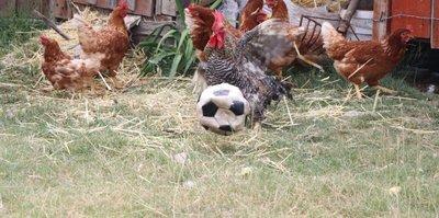 Futbol oynayan 'horoz'